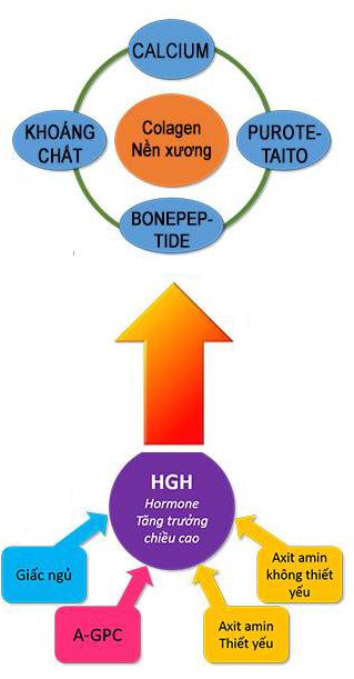 Các chất hỗ trợ thúc đẩy sinh trưởng hormon tăng trưởng tự sinh