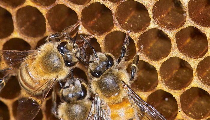Mật ong Manuka được chiết xuất tinh khiết từ mật ong tự nhiên