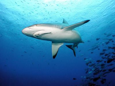 sụn vi cá mập, chứa hàm lượng lớn hoạt chất chondroitin, giúp hỗ trợ điều trị các bệnh về xương khớp