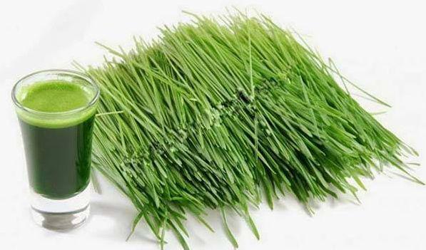 Bột mầm lúa mạch nguyên chất OSK tốt cho hệ tiêu hóa